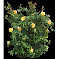 Выбор соседей для роз