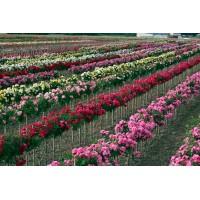 Основные сорта роз