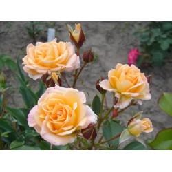 Выбор роз, использование роз, оформление клумб