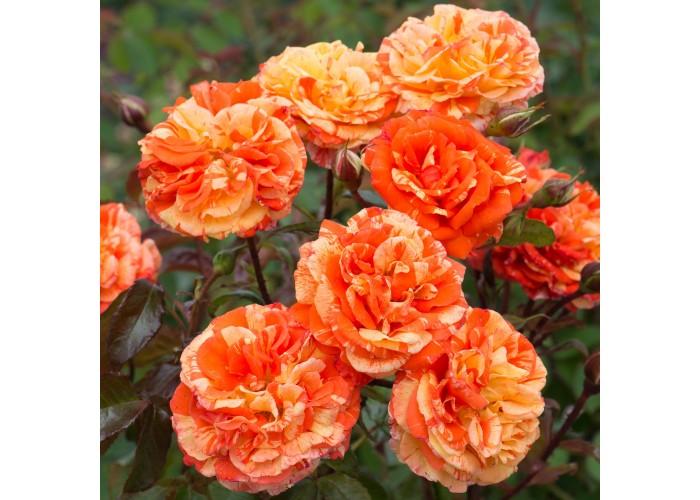 Оранжес энд Лемонс (Oranges and Lemons)