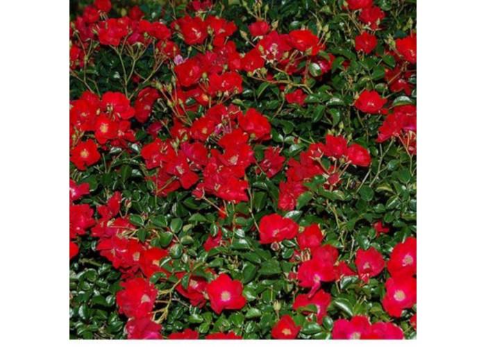 Ред вельвет (Red velvet)
